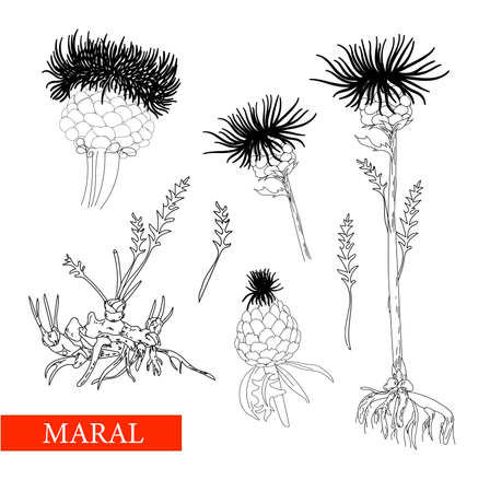 perennial herbaceous plant family Astral, maral root, maral. Linear drawing on a white background isolated