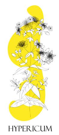 St. John's wort plant. Medicinal herbs. Alternative medicine. Ilustracja