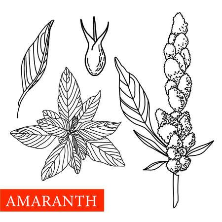 amaranth plant. Vector botanical illustration. Amaranth Medical plants