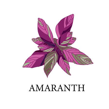 amaranth on a white background. greenhouse plant isolated. vector illustration. Ilustrace