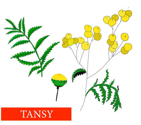 Tansy flower. Medicinal plants. Tansy. Wildflowers. Isolated on white vector illustration