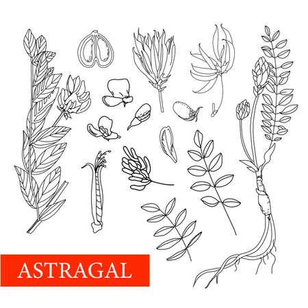 Astragalus. medicinal plants. Wildflowers vector illustration Botanical illustration