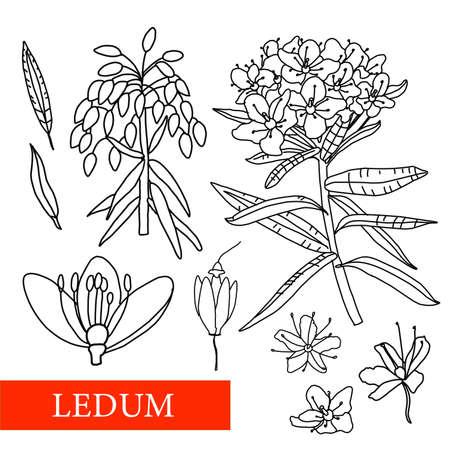 Ledum. medicinal plants. Wildflowers vector illustration Botanical illustration Ilustrace