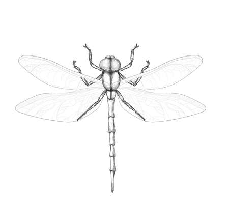 dragonfly on a white background. Pencil drawing dragonfly. Winged insect Reklamní fotografie