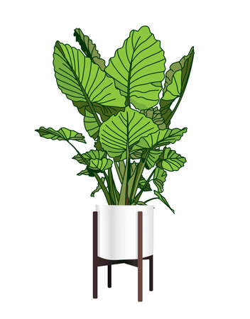 Alocasia. A trendy houseplant. Modern flower pot. Plant vase. Plant growing. Vector illustration. Stock Illustratie