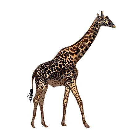 Realistic giraffe isolated on white background. Hand-drawn African animal. Savannah animals.