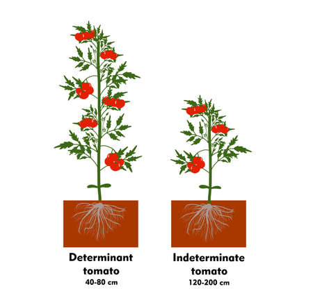 Planting tomatoes in the ground. Growing a tomato. Seedling. Disembarkation in the greenhouse. Vegetable growing technology. Horticulture. Determinant and indeterminate hybrids. Vectores