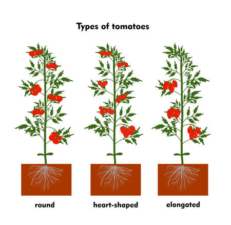Planting tomatoes in the ground. Growing a tomato. Seedling. Disembarkation in the greenhouse. Vegetable growing technology. Horticulture. Determinant and indeterminate hybrids.
