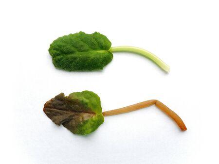 diseased: Healthy leaf and diseased leaf against white background