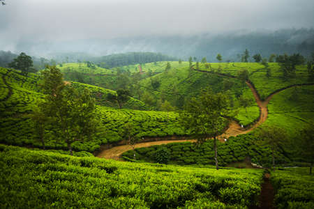 Beautiful Ceylon tea plantations with the ways leaving in the distance.
