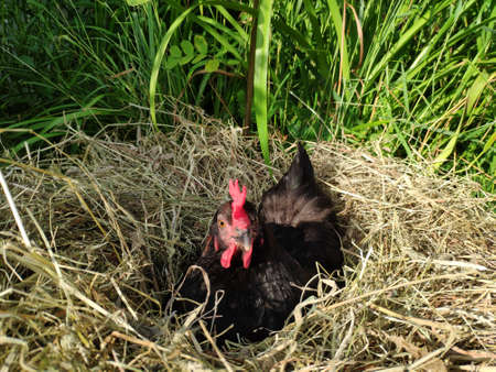 The hen is hatching the egg in a nest