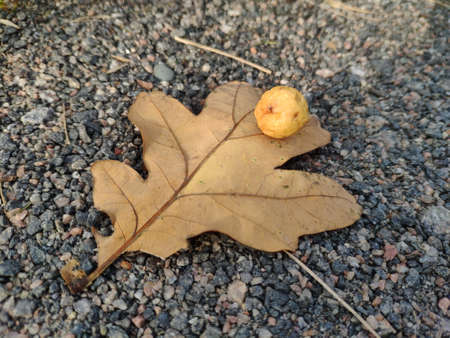 nest of the Cynips quercusfolii Linnaeus. globular Gallae on an oak leaf. round ball on an oak leaf. Background 版權商用圖片