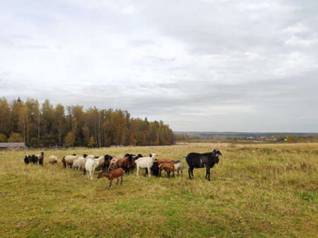 herd of farm animals on the farm. goat, goats, sheep graze in the field