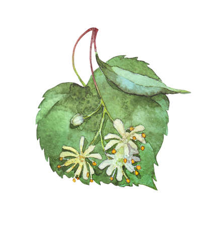 linden inflorescence on white watercolor illustration