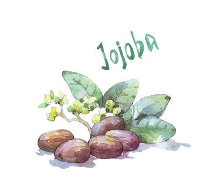 jojoba seed and leaf watercolor illustration