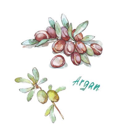 argania branch watercolor illustration isolated