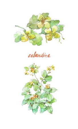 Flower celandine isolated on white watercolor illustration