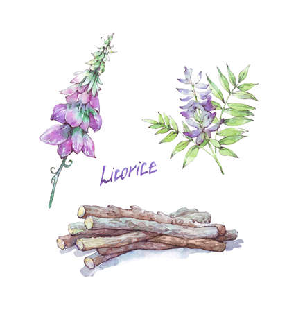 licorice flower and root isolated watercolor illustration