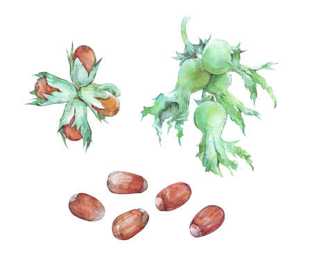 set of hazelnuts isolated on white watercolor