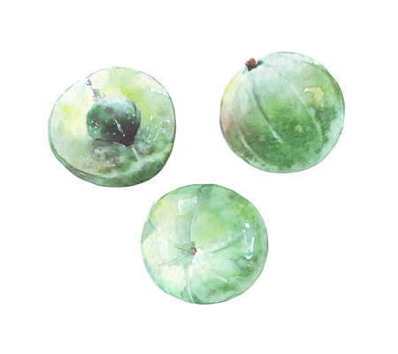 ripe green amla set watercolor art isolated