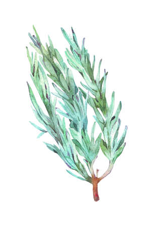 rosemary branch watercolor illustration isolated on white