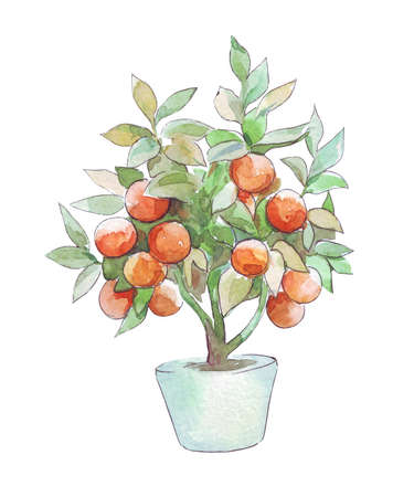 mandarin tree in a pot isolated watercolor