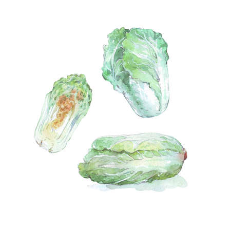 chinese cabbage isolated on white watercolor illustration