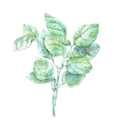 basilicum bunch watercolor art isolated on white Reklamní fotografie
