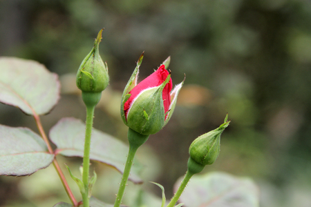 bud and rose