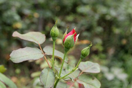 rose bud: Rose gemma