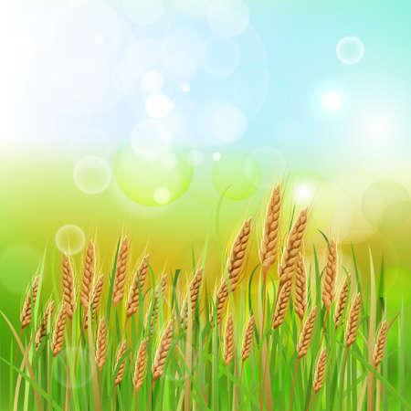oat field: Shiny bright wheat background. Vector illustration