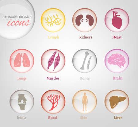 higado humano: Vectorial editable colección de piezas de iconos del cuerpo humano. Sangre en estilo brillante transparente. Útil para inforchart y infografía
