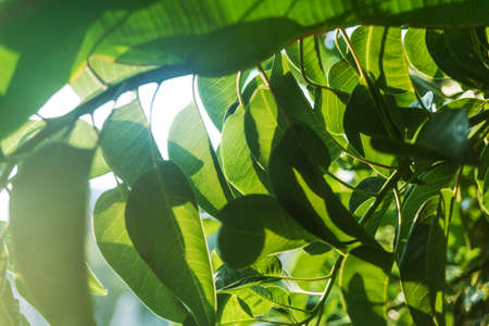 ficus: Green fresh leaves of rubber plant bush