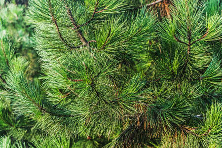 branches and leaves: Blue spruce pine, fir tree summer Turkey Stock Photo