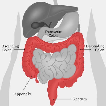 ascending colon: Beautiful vector illustration of the body internal parts. Abstract medicine concept. Useful for poster, indographics, placard, leaflet, brochure, print, book and ad graphic design. Illustration