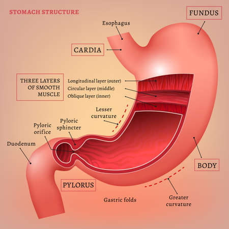 fundus of stomach: illustration of medical stomach scheme. Editable abstract image in pink and red colors useful for a poster, icon,  placard, sign, ad and web banner creative design. Stock Photo