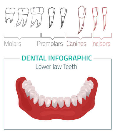 incisor: Human teeth dental infographic. Editable illustration with Lower jow teeth. Medical image on a white background useful for poster, leaflet or brochure graphic design.