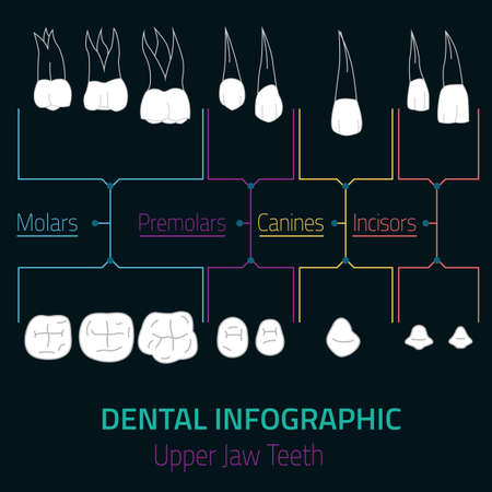 incisor: Human teeth dental infographic. Editable vector illustration with upper jaw teeth. Medical image with white teeth in modern style useful for poster, leaflet or brochure graphic design.