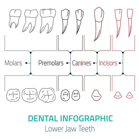 lower teeth: Human teeth dental infographic. Editable vector illustration with Lower jaw teeth. Medical image on a white background useful for poster, leaflet or brochure graphic design.