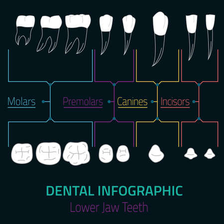 premolar: Human teeth dental infographic. Editable vector illustration with Lower jaw teeth. Medical image with white teeth in modern style useful for poster, leaflet or brochure graphic design.