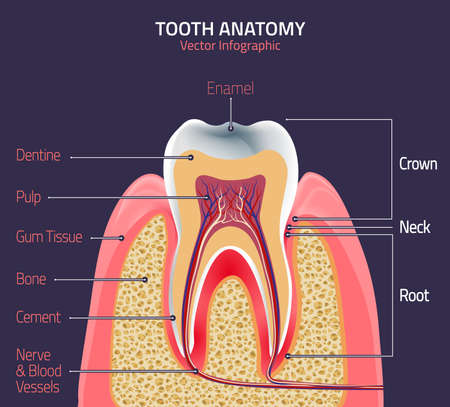 root canal: Human tooth dental infographic. Medical image in wight, pink and beige colors on a dark violet background useful for poster, leaflet or brochure graphic design. Illustration