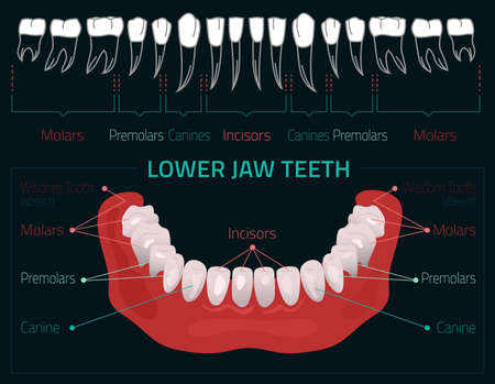 incisor: Human teeth dental infographic. Editable illustration with Lower jaw teeth. Medical image with white teeth in modern style on a dark background useful for poster, leaflet or brochure graphic design.
