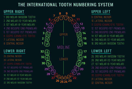 incisor: Adult international tooth chart. Vector illustration. Editable image in neon colors on black background. Human teeth numbering system infographic. Health dental care design. Poster or leaflet template