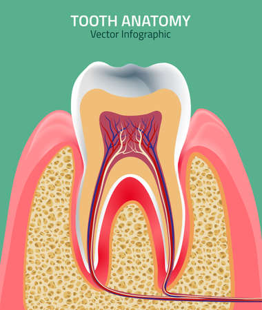 spongy: Human tooth dental infographic. Editable illustration. Medical image in green, pink and beige colors on a light green background useful for poster, leaflet or brochure graphic design.