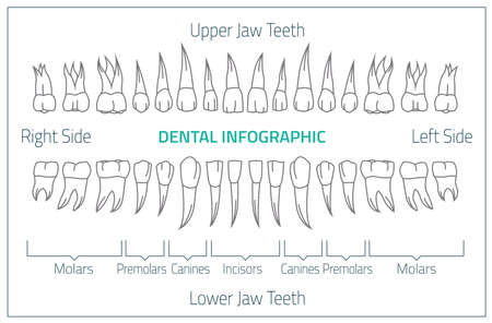 Adult international tooth chart. illustration. Editable image in neon colors on white background. Human teeth infographic. Health dental care design. Poster or leaflet template