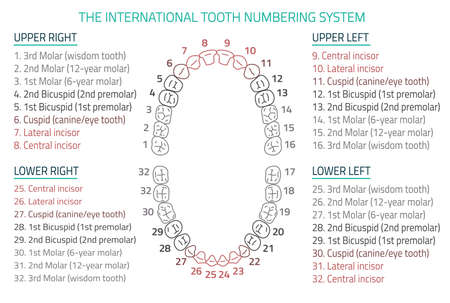 Adult international tooth numbering chart. illustration. Editable image in modern style on white background. Human teeth infographic. Health dental care design. Poster or leaflet template