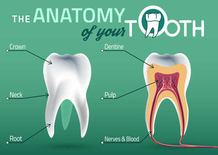 blood supply: Human tooth dental infographic. illustration with healthy white tooth. Medical image in wight, pink and beige colors on a green background useful for poster, leaflet or brochure graphic design. Illustration