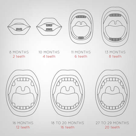 shedding: Baby First Teeth Chart. Vector illustration in outlines in grey colours on a light grey background with eruption time information. Medical and healthcare concept.