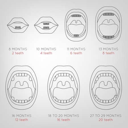 esquema: Gráfico del bebé primeros dientes. Ilustración del vector en líneas generales en colores grises sobre un fondo gris claro con información en tiempo erupción. Médica y el concepto de salud.