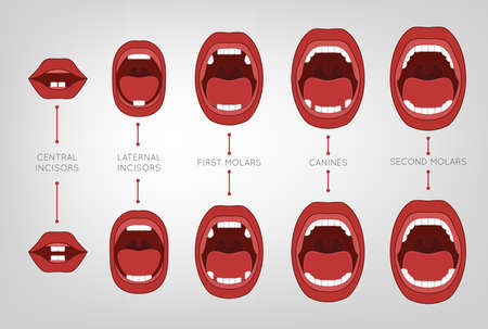 dentition: Baby First Teeth Chart. Vector illustration in pink and red colours on a light grey background with eruption time information. Medical and healthcare concept. Illustration